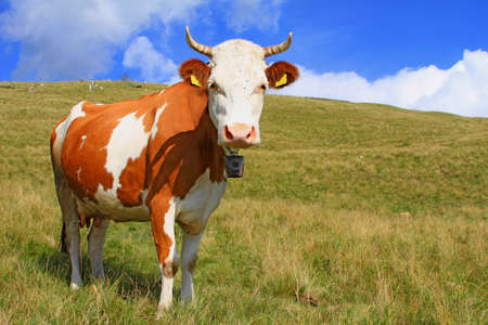 Cow on a summer pasture Stock Photo - 18356486