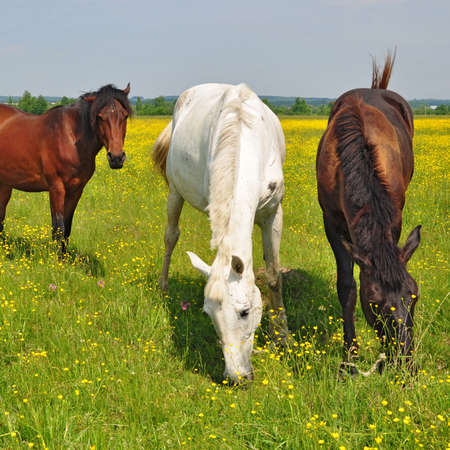 Horses on a summer pasture Stock Photo - 18437979