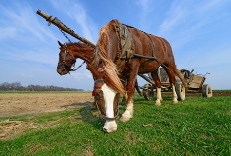 livestock sector: Horses with a cart on a spring field