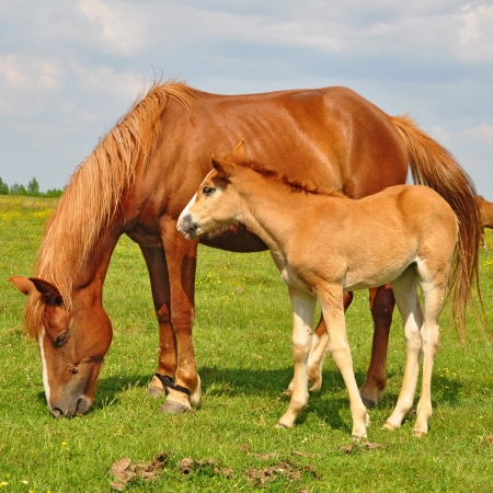 Foal with a mare on a summer pasture Standard-Bild