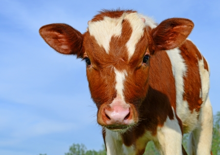 cow head: Head of the calf against the sky Stock Photo