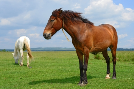 Horse on a summer pasture Stock Photo - 20340131