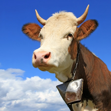 cow head: Head of a cow against the sky Stock Photo