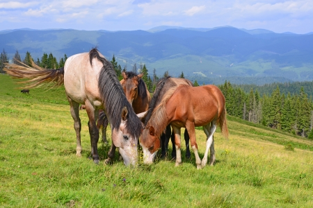 Horses on a summer mountain pasture Stock Photo - 21051931