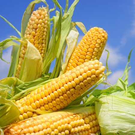 planta de maiz: J?venes orejas de ma?z contra el cielo Foto de archivo