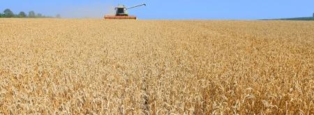 cosechadora: La cosecha de grano se combinan