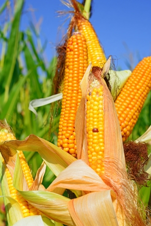 Young cob corn on the stalk  photo