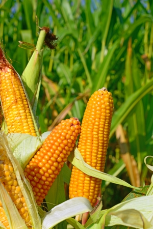 fodder corn: Young cob corn on the stalk