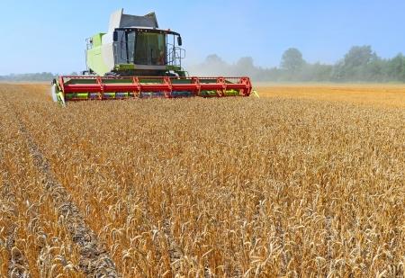 corn field: Grain harvesting combine