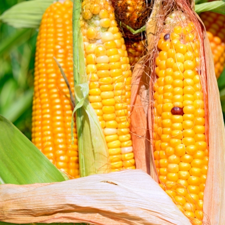 tanker type: Young cob corn on the stalk
