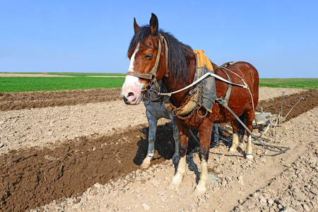 livestock sector: A horse on a spring field during field works