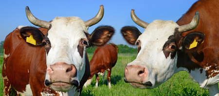 Heads of cows against a pasture photo