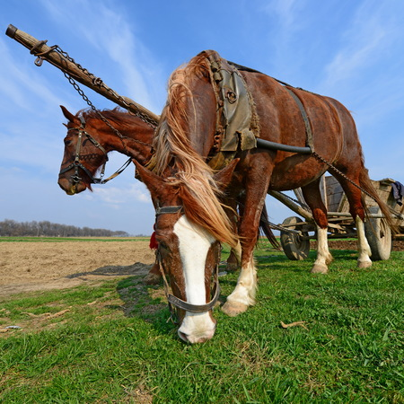 livestock sector: Horses with a cart on a spring field Stock Photo