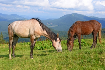 steeplechaser: Horses on a summer mountain pasture