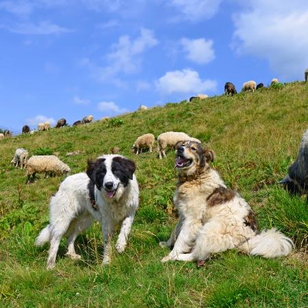 개는 산 목초지에서 양을 지키고 있습니다. 스톡 콘텐츠