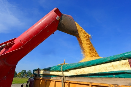 Overloading of maize from the hopper to the tractor vehicle