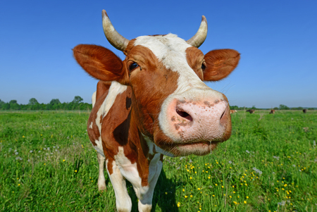 dairy cow: Cow on a summer pasture Stock Photo