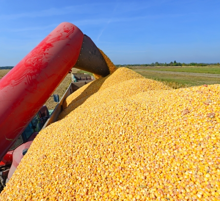 hauling tractor: Overloading of maize from the hopper to the tractor vehicle   Stock Photo