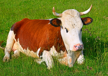 Cow on a summer pasture Stock Photo - 23177579