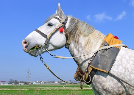 livestock sector: Head of a horse in a harness against the sky