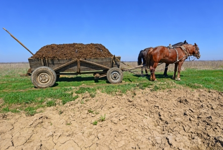 Horses with a cart loaded with manure photo