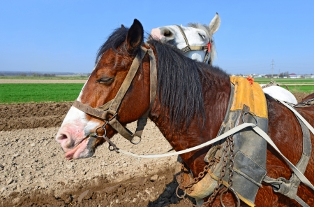 livestock sector: Heads of horses in a harness against a spring field
