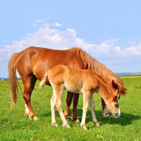 cohort: Foal with a mare on a summer pasture Stock Photo