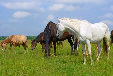 steeplechaser: Horses on a summer pasture Stock Photo