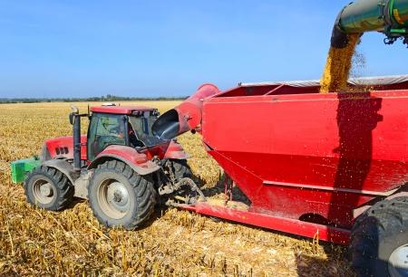 At harvest corn Stock Photo