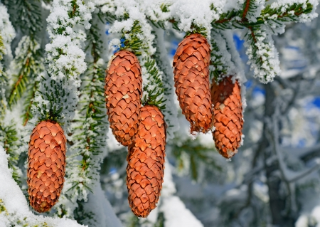 acerose leaf: Branch ate with cones under snow