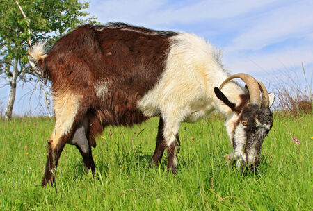 Goat on a summer pasture photo