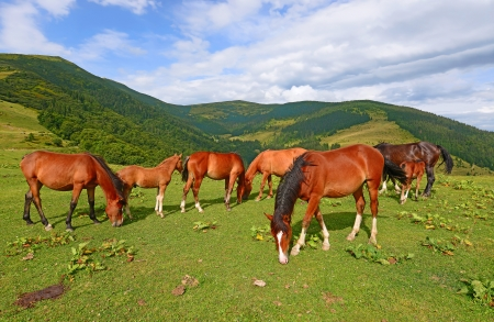 Horses on a summer mountain pasture photo
