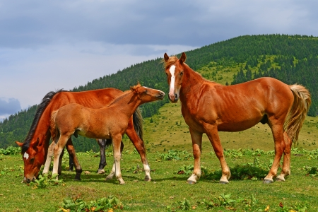 Horses on a summer mountain pasture Stock Photo