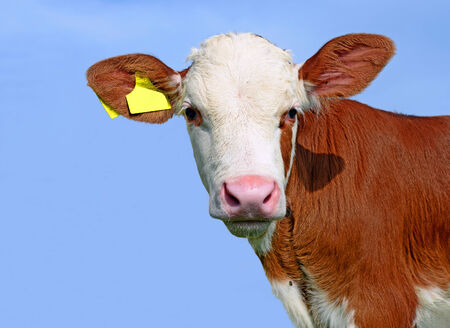 offshoot: Head of the calf against the sky