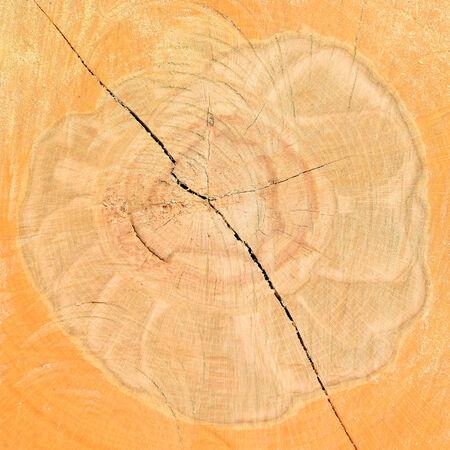 Cut of a log of a beech photo