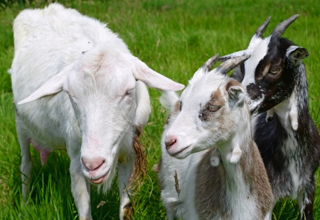 bloodstock: Goat with kids on summer pasture