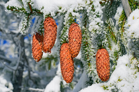 acerose leaf: Branches ate with cones under snow Stock Photo