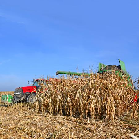At harvest corn  photo