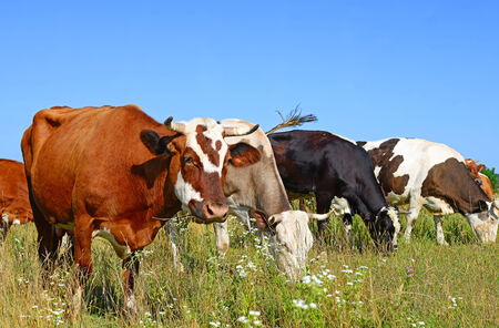 Cows on a summer pasture photo