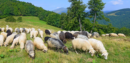 Sheep in mountains photo