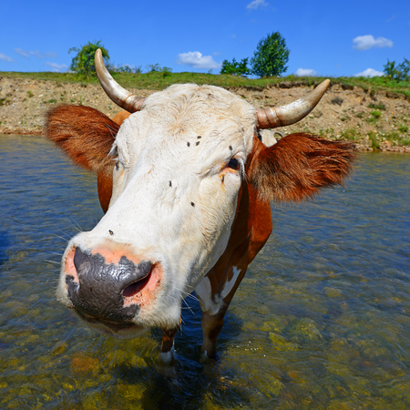 Cow on a watering place photo