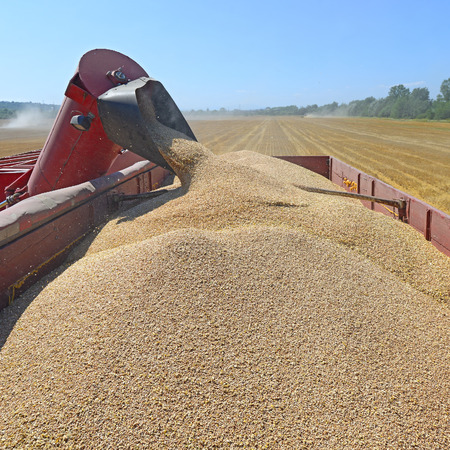 agricultural tenure: Overloading grain silo with a tractor in a car