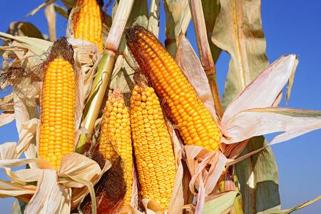 Ripe corn  photo