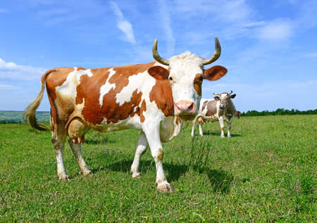 Cow on a summer pasture Stock Photo - 26954116
