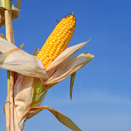 Ripe corn  photo