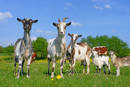 Goats on a summer pasture photo