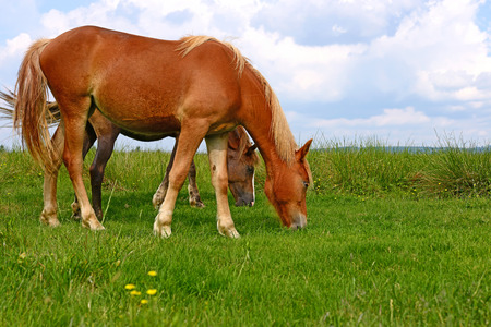 steeplechaser: Horses on a summer pasture