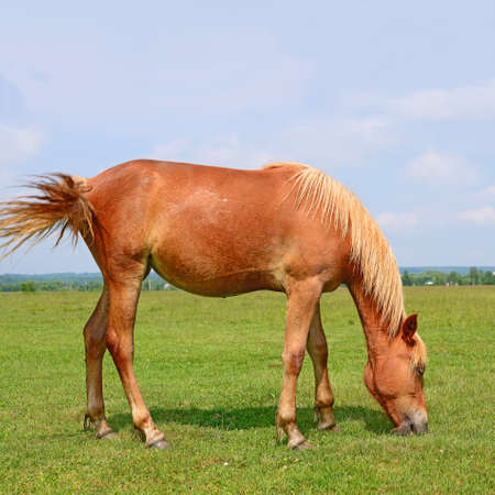 horse meat: Horse on a summer pasture