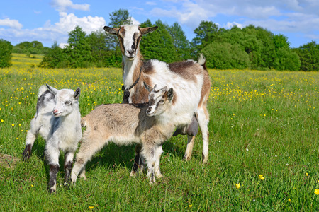 Goat with kids on summer pasture