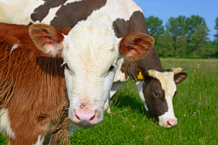 cohort: Head of the calf against a pasture Stock Photo